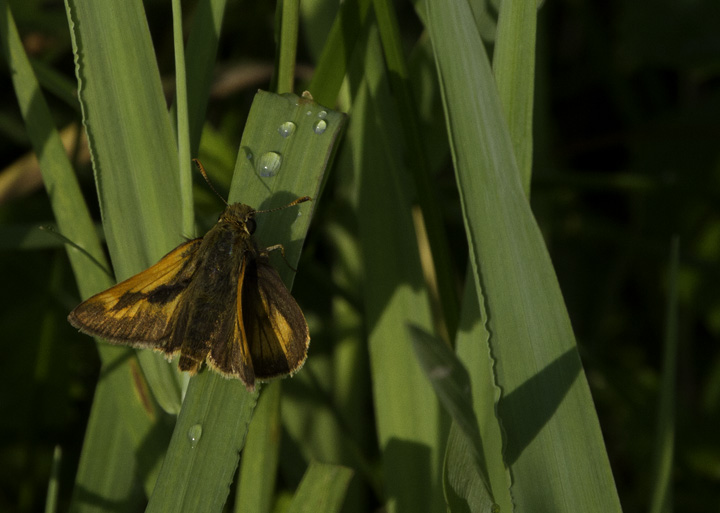 A Crossline Skipper in Garrett Co., Maryland (6/12/2011). Photo by Bill Hubick.