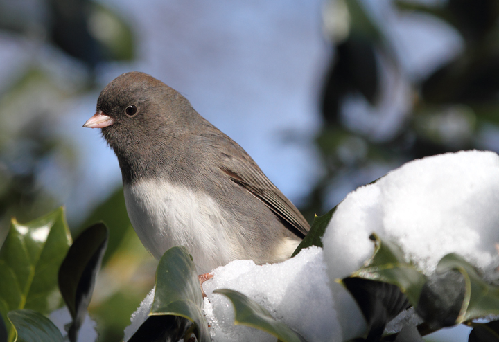 A Slate-colored Junco checking out our busy feeders. (Anne Arundel Co., Maryland, 12/20/2009).