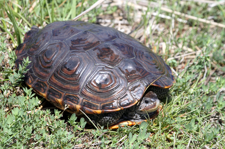 A Diamondback Terrapin in southern Dorchester Co., Maryland (5/8/2010). Photo by Bill Hubick.