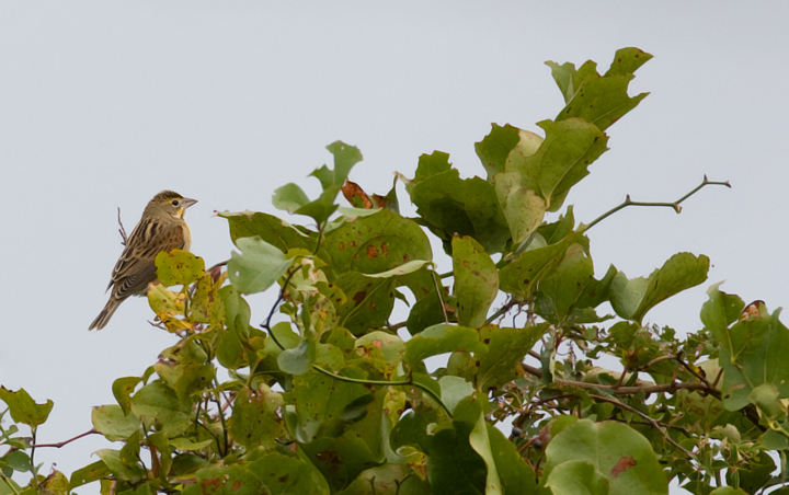 Dickcissel in Maryland