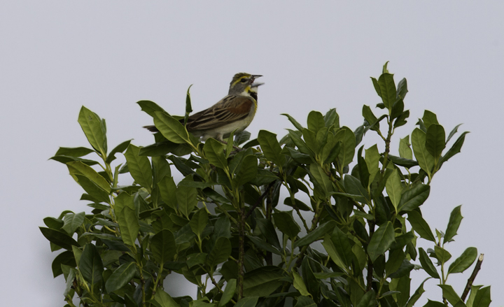 One of five Dickcissels singing along a road in Queen Anne's Co., Maryland (6/18/2011). Photo by Bill Hubick.