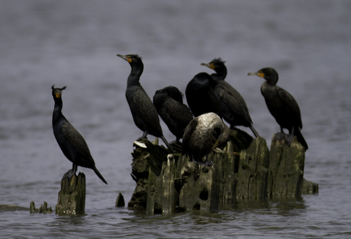 Double-crested Cormorants roosting on the Wicomico River, Maryland (4/10/2011). Photo by Bill Hubick.