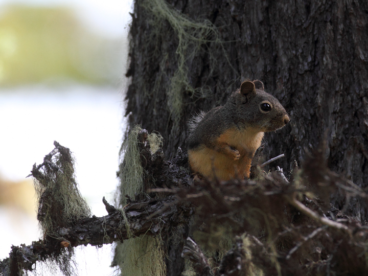 A Douglas' Squirrel on Mount Hood, Oregon (9/2/2010). Photo by Bill Hubick.