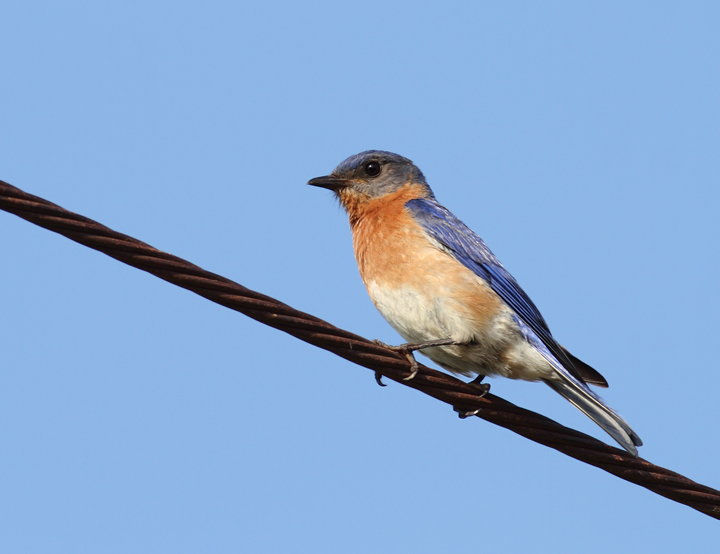 An Eastern Bluebird at Chino Farms, Maryland (6/19/2010). Photo by Bill Hubick.