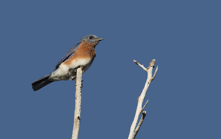 An Eastern Bluebird at Point Lookout SP, Maryland (10/2/2010). Photo by Bill Hubick.