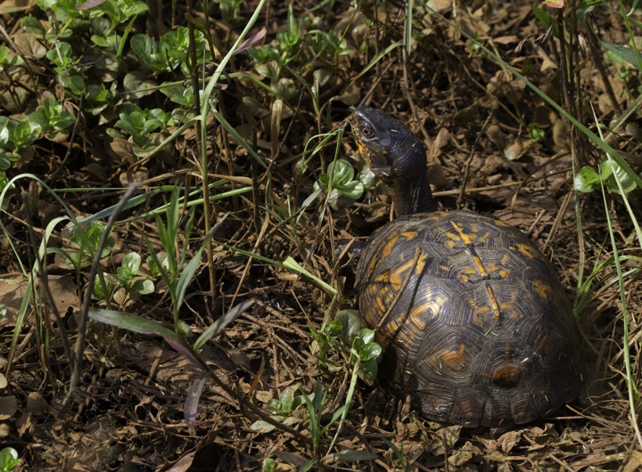 An Eastern Box Turtle in Washington Co., Maryland (6/4/2011). Photo by Bill Hubick.