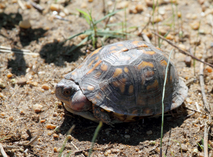 This unfortunate Eastern Box Turtle featured a large growth on its neck - St. Mary's Co., Maryland (10/2/2010). Photo by Bill Hubick.