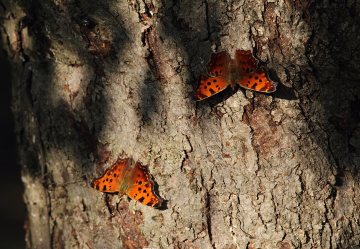 Two Eastern Commas were among over 50 anglewings at one site in Somerset Co., Maryland (10/10/10). Photo by Bill Hubick.