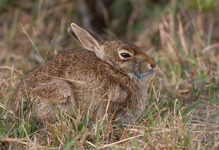 An Eastern Cottontail on Assateague Island, Maryland (10/12/2009).