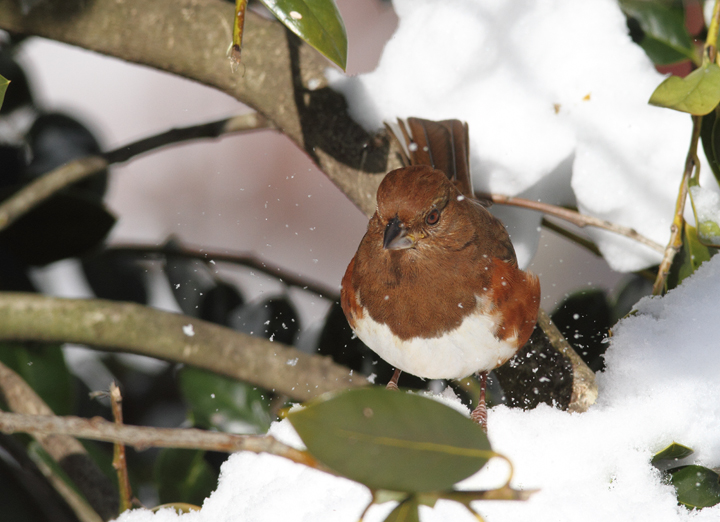 Eastern Towhees feeding below one of our hollies (Pasadena, Maryland, 2/7/2010). Photo by Bill Hubick.