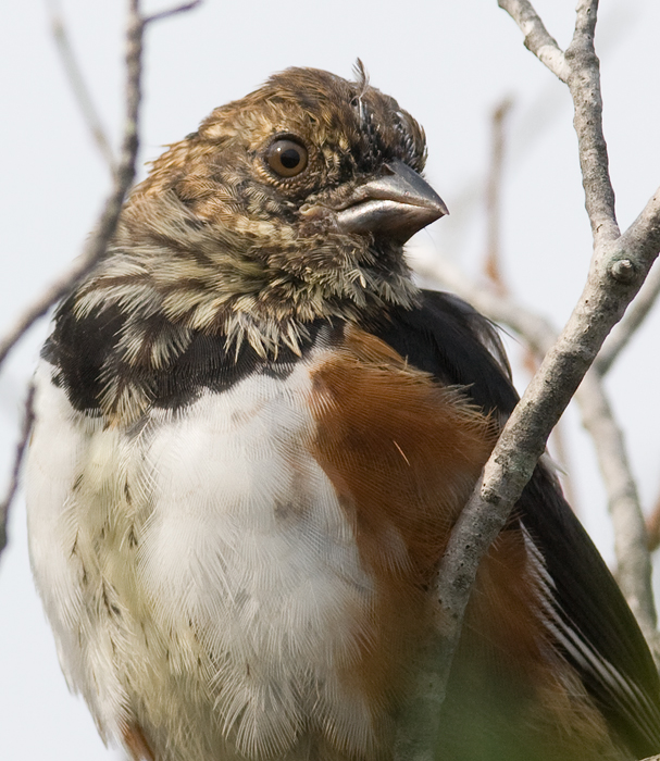 A molting Eastern Towhee on Assateague Island, Maryland (10/2/2009).