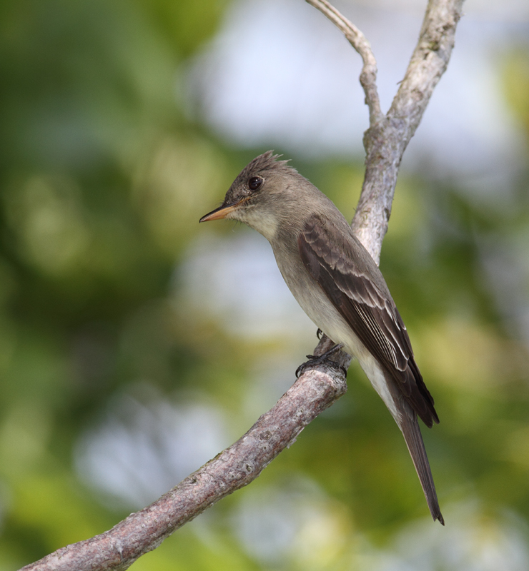 An Eastern Wood-Pewee on Assateague Island, Maryland (5/14/2010). Photo by Bill Hubick.