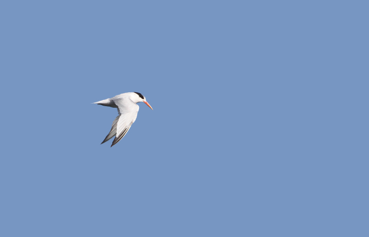 Elegant Terns were abundant on San Francisco Bay and were the preferred target of jaegers (9/24/2010). Photo by Bill Hubick.