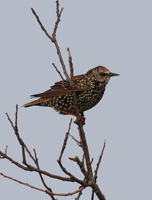 A European Starling at Bayside on Assateague Island, Maryland (10/12/2009).