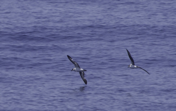 A rare Fea's Petrel (right) with a Black-capped Petrel (left) off Cape Hatteras, North Carolina (5/29/2011). It breeds in the Cape Verde Islands and Madeira Islands (Bugio) on the other side of the Atlantic. How rare? How awesome? Here's its <a href='http://www.iucnredlist.org/apps/redlist/images/range/thumbs/144856.png' target='_blank' class='text'> range map.</a> Photo by Bill Hubick.