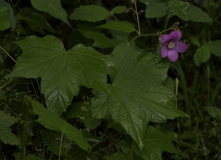 Flowering Raspberry in Garrett Co., Maryland (6/12/2011). Photo by Bill Hubick.