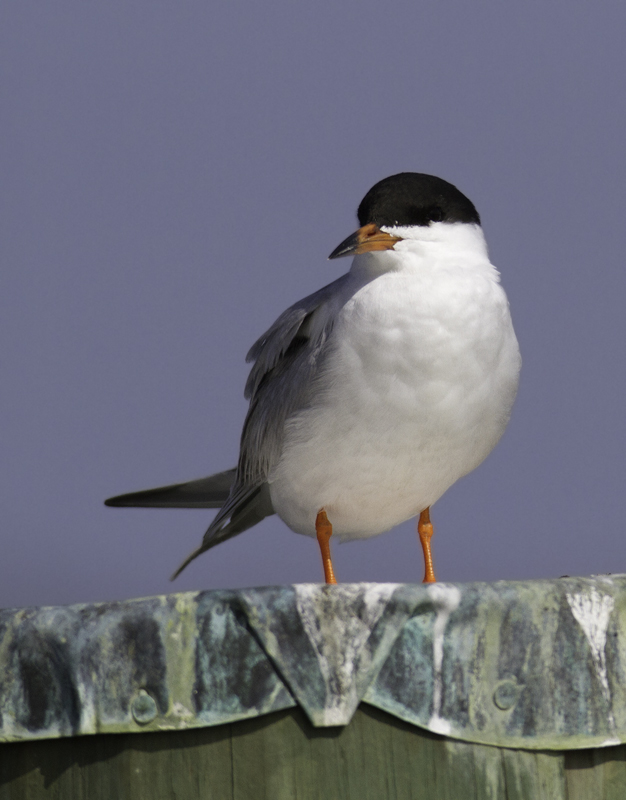 My first sighting of Forster's Tern for the year in Maryland - Whitehaven, Wicomico Co. (3/27/2011). Photo by Bill Hubick.