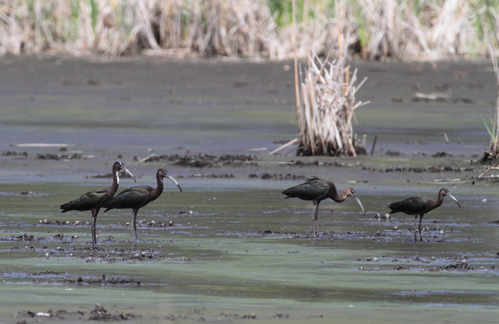 Juvenile Glossy Ibis foraging at Truitt's Landing, Maryland (7/31/2010). Photo by Bill Hubick.