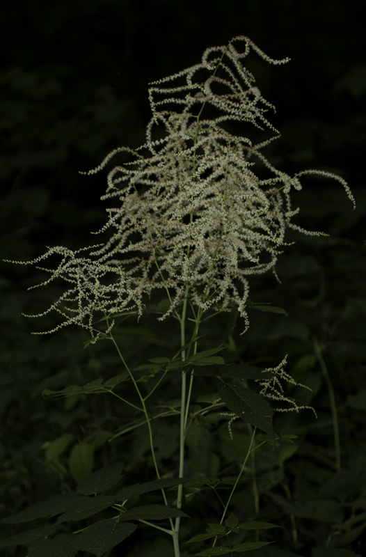 Goat's Beard (<em>Aruncus dioicus</em>) in Garrett Co., Maryland (6/12/2011). Host plant for Dusky Azure. Photo by Bill Hubick.