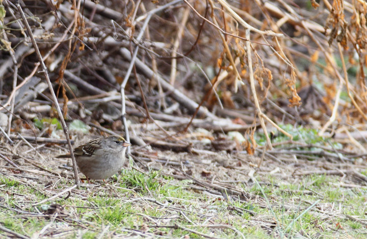 Maryland's first record of Golden-crowned Sparrow, photographed at Chesapeake Farms, Kent Co., Maryland (12/20/2010). Found the previous day by Bruce Peterjohn during the Lower Kent CBC. Exceptional find, Bruce! Photo by Bill Hubick.