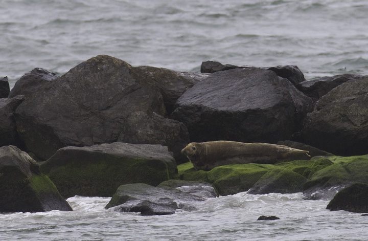 A GRAY SEAL roosting on the south jetty at the Ocean City Inlet (5/14/2011). This species is expanding in the Northeast, so maybe we in Maryland will be treated to more sightings of this species. <a href='http://d35ei7ijlpqg4z.cloudfront.net/rangemap-5-1029-7-650894546048723948.jpg' class='text' target='_blank'>Range Map</a> Photo by Bill Hubick.