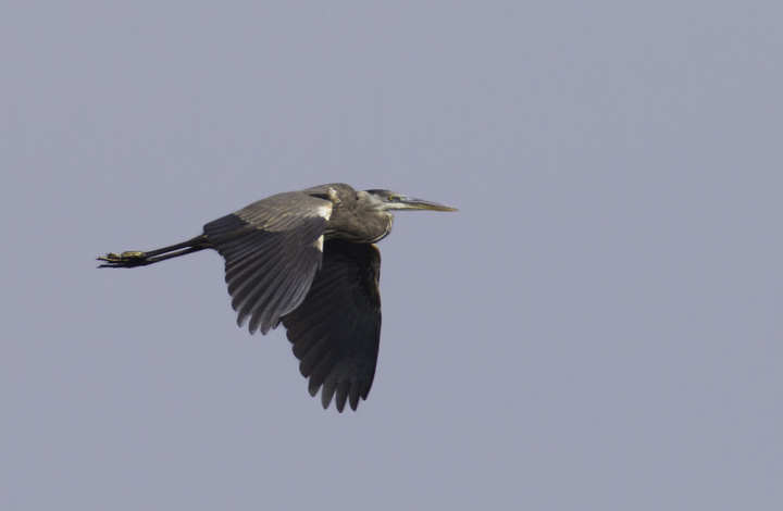 A Great Blue Heron at Fort Smallwood Park, Maryland (5/22/2011). Photo by Bill Hubick.