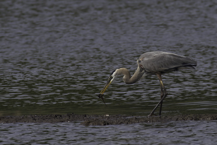 A Great Blue Heron prepares a catfish lunch. Sue Ricciardi pointed out that it typically takes catfish to the small island before swallowing them, while other species are simply tossed back. We theorized that killing the catfish on dry land reduces the risk of harm via the catfish's sharp fins. Photo by Bill Hubick.