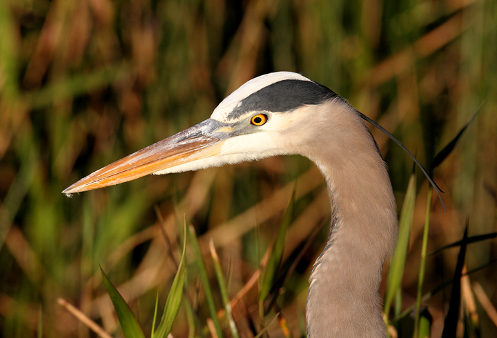 A Great Blue Heron hunts along a trail in the Everglades (2/26/2010). Photo by Bill Hubick.