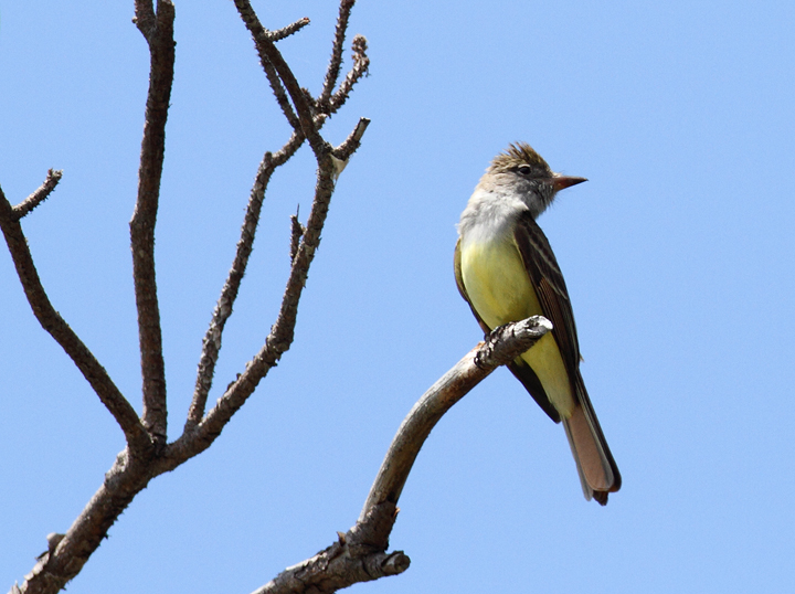 A Great Crested Flycatcher in Dorchester Co., Maryland (5/8/2010). Photo by Bill Hubick.
