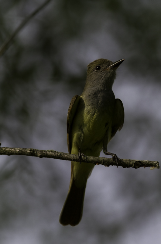 A Great Crested Flycatcher in Queen Anne's Co., Maryland (6/18/2011). Photo by Bill Hubick.