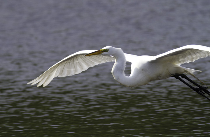 A Great Egret at Fort Smallwood, Maryland (5/22/2011). Photo by Bill Hubick.