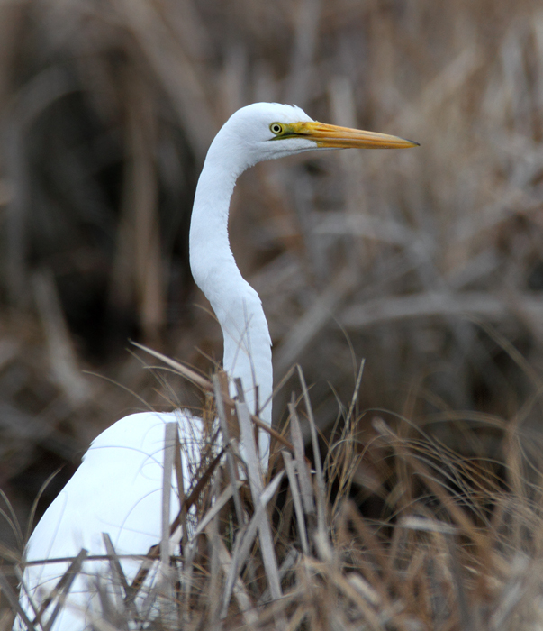 A Great Egret - scarce in winter - in Worcester Co., Maryland (1/24/2010). Photo by Bill Hubick.