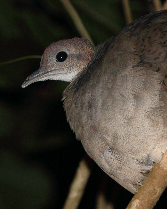 A Great Tinamou roosting in a tree at night. Although its beautiful song is heard regularly in this area, this was a very unexpected opportunity to study this reclusive ground-dwelling bird (Panama, July 2010). Photo by Bill Hubick.