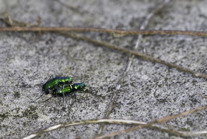 Mating Six-spotted Tiger Beetles in a bog in Garrett Co., Maryland (6/12/2011). Photo by Bill Hubick.