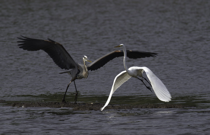 A Great Blue Heron chases off a Great Egret - Fort Smallwood, Maryland (5/22/2011). Photo by Bill Hubick.