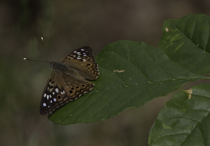 A Hackberry Emperor in Allegany Co., Maryland (6/4/2011). Photo by Bill Hubick.