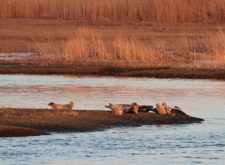 A large group of <em>ten</em> Harbor Seals hauled out north of Skimmer Island, Maryland (3/20/2010). This is an unusually high number for the area, at least in my experience. The last few years have also seen the occasional visiting Harp Seal. Photo by Bill Hubick.