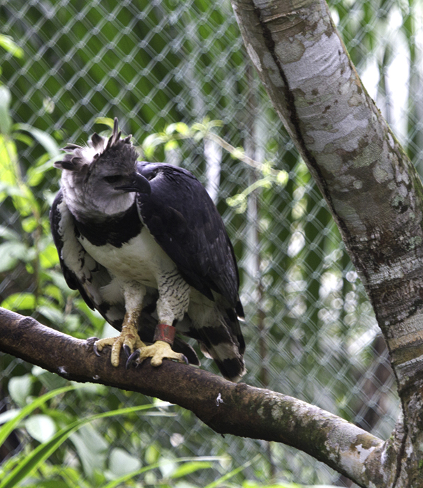 One of the world's most impressive creatures, the Harpy Eagle - spectacular even in captivity. Photo by Bill Hubick.