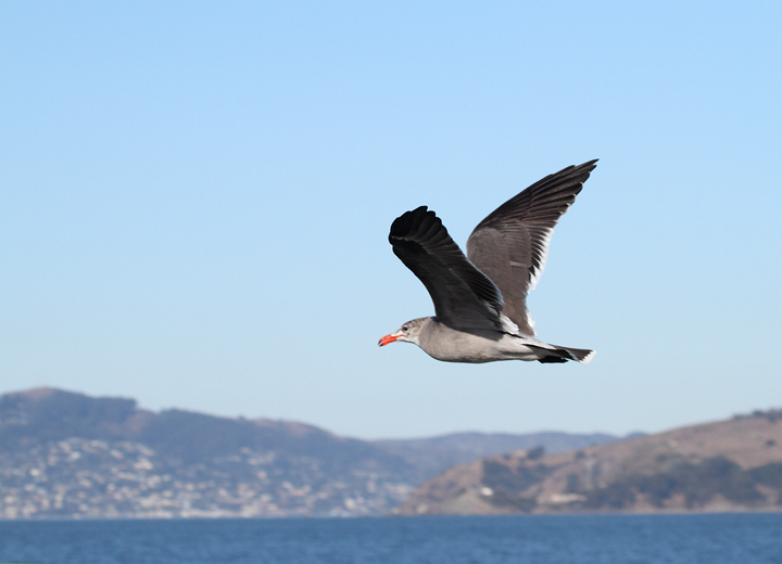 Heerman's Gulls around San Francisco Bay, California (9/23-24/2010). Photo by Bill Hubick.