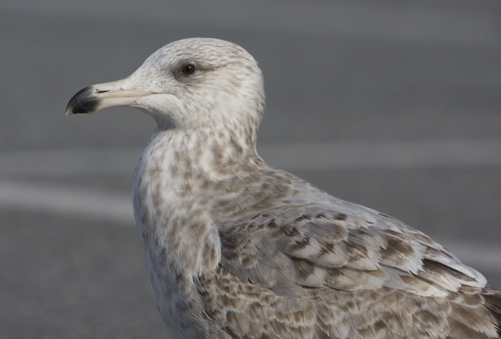 American herring gull | Wiki | Everipedia