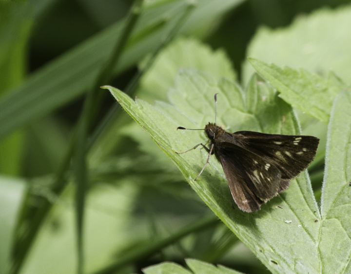 A female Hobomok's Skipper in Garrett Co., Maryland (6/12/2011). Photo by Bill Hubick.