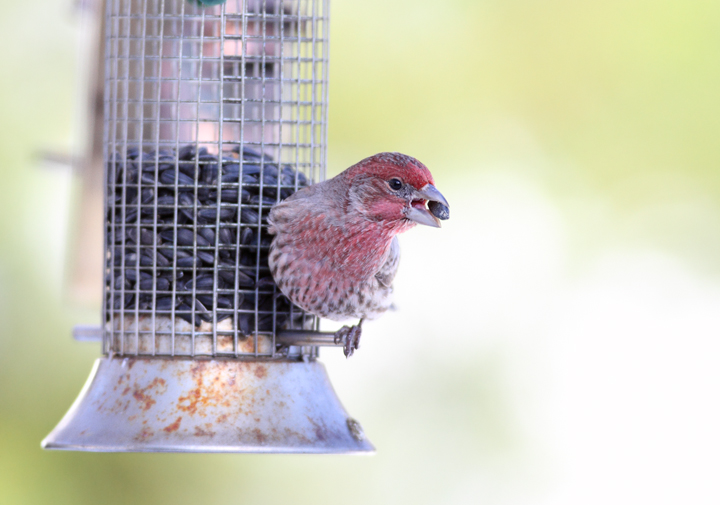 A male House Finch visits our feeders in Anne Arundel Co., Maryland (12/20/2009).