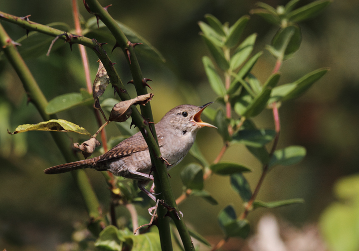 A House Wren at Schooley Mill Park, Howard Co., Maryland (9/19/2010). Photo by Bill Hubick.