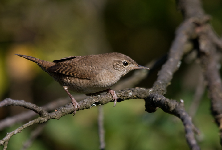 A House Wren investigates intruders at Blairs Valley, Washington Co., Maryland (10/3/2009).