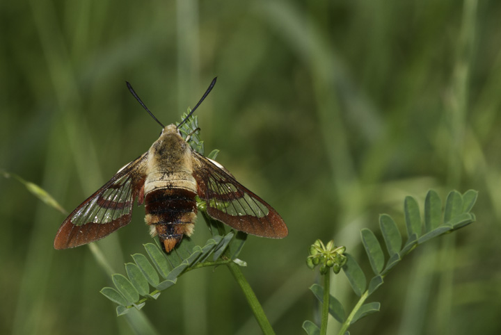 A rare opportunity to study a perched Hummingbird Clearwing (moth) - Washington Co., Maryland (6/4/2011). Photo by Bill Hubick.