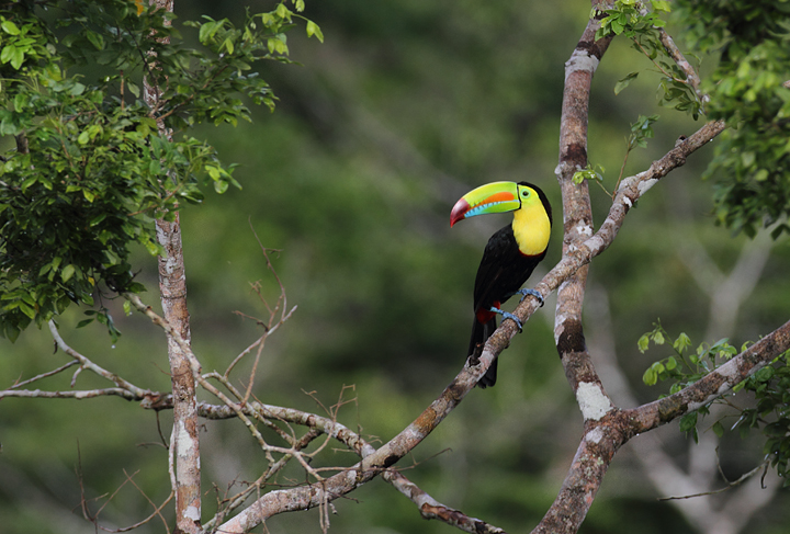 A Keel-billed Toucan - how could these guys <em>not</em> be a favorite? Photo by Bill Hubick.