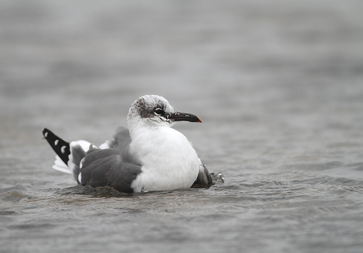 A Laughing Gull at the Ocean City Inlet, Maryland. There were five present on 12/13/2009, which 		was my new late date in Maryland by one day.
