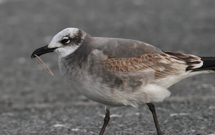 A Laughing Gull at the Ocean City Inlet, Maryland (11/11/2010). Photo by Bill Hubick.