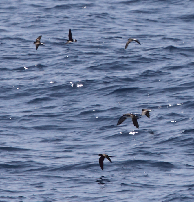 Leach's Storm-Petrel among Wilson's Storm-Petrels and an Audubon's Shearwater - Maryland waters (8/15/2010). Photo by Bill Hubick.