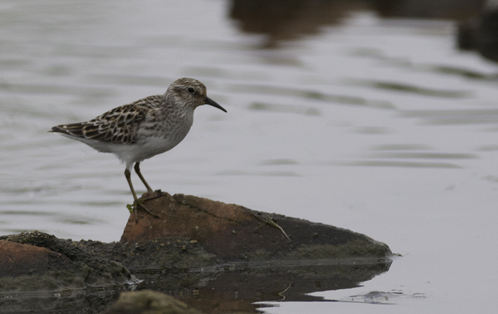 A Least Sandpiper in Prince George's Co., Maryland (5/16/2009). Photo by Bill Hubick.